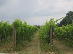 Old Westminster Vineyard